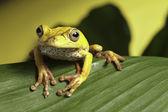 Tree frog on leaf — Stock Photo