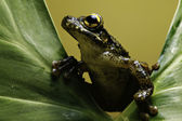 Tree frog on leaf amphibian in amazon forest — Stock Photo