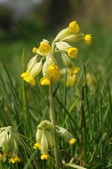 Cowslip — Stock Photo