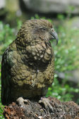Green Kea Parrot — Stock Photo