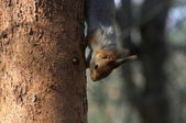 The squirell looks out after the tree — Stock Photo