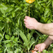 Pruning a yellow tulip. — Stock Photo