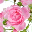Pink rose. — Stock Photo #2737514