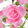 Pink rose. — Stock Photo