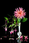Rosa dahlia med fuchsior. — Stockfoto