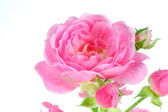 Pink rose with leaves. — Stock Photo