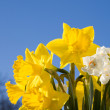 Yellow narcissus. - Stock Photo