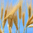 Stock Photo: Wheat stems.