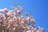 Blooming magnolia in spring. — Stock Photo