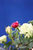 Colorful roses. — Stock Photo
