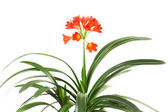 Red amaryllis. — Stock Photo