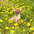 Royalty-Free Stock Photo: Chihuahua in grass