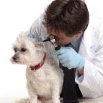 Vet checking dog — Stock Photo