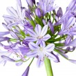 Agapanthus - African Lily - Stock Photo