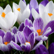 Royalty-Free Stock Photo: White and purple crocussus