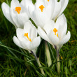 Four white crocussus — Stockfoto