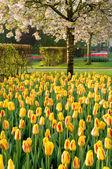Tulipány a kvetoucí strom — Stock fotografie
