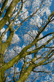 Buk drzewo w szron — Zdjęcie stockowe