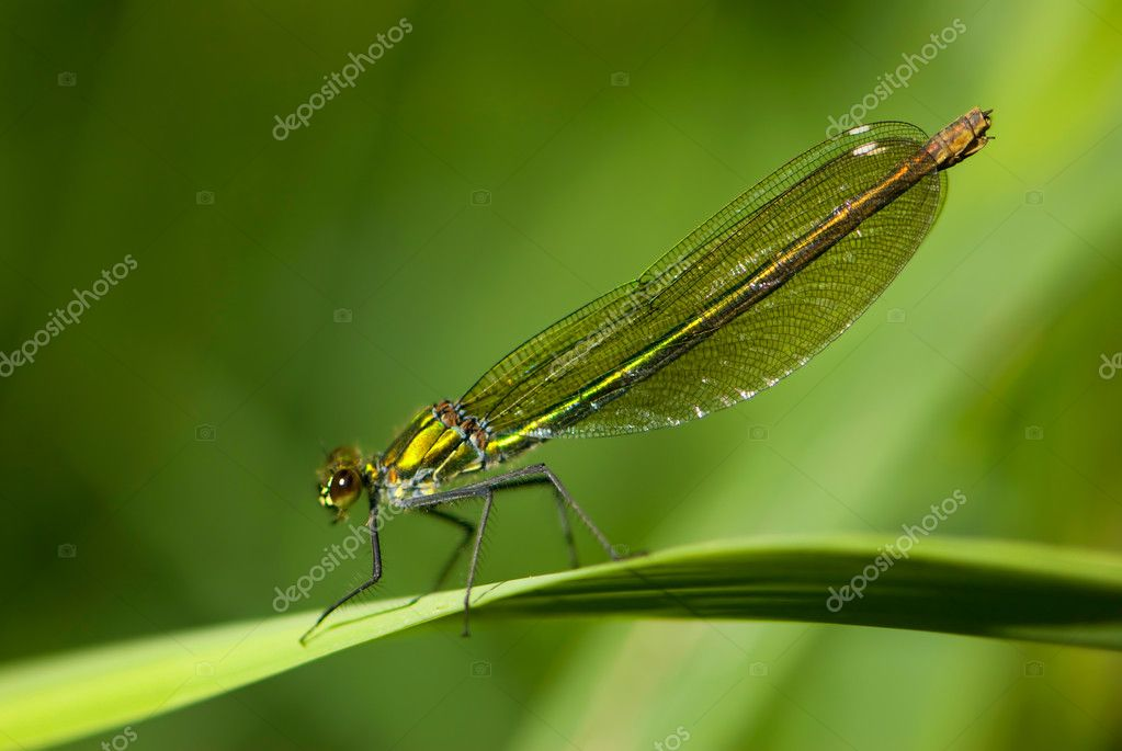 A resting female of an banded damselfly — Stock Photo #2702621