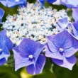 A hydrangea flower — Stock Photo