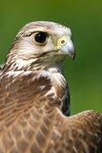 A brown falcon — Foto de Stock