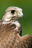 Un halcón marrón — Foto de Stock