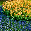 Tulip and common grape hyacinth — Stock Photo
