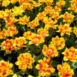 Bed of yellow red tulips — Stock Photo #2801968