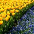 Yellow tulips and common grape hyacinths — Stock Photo