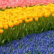 Photo: Red and yellow tulips and blue hyacinths
