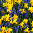 Stock Photo: Daffodils and common grape hyacinth