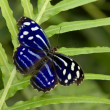 Blue spotted butterfly — Stock Photo #2802226
