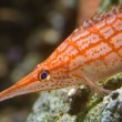Stock Photo: Orange stripped sefish