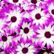 Purple white flowers — Stock Photo