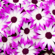 Stock Photo: Purple white flowers