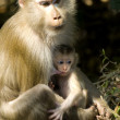 Stock Photo: Macaque mother and baby