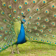 Photo: Male peacock