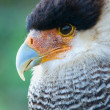 Stock Photo: Hair caracarfalcon