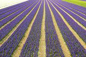 White an blue hyacint — Stock Photo