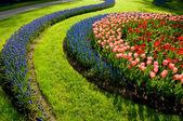 Tulipány a společné modřenec — Stock fotografie