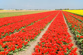 Rows of red and yellow tulips — Stock Photo