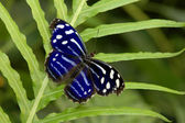 A blue spotted butterfly — Stock Photo