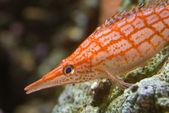 Orange strippad havsfisk — Stockfoto