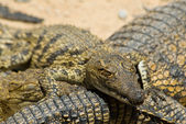 Young crocodils — Stock Photo