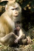 Bebé y la madre de macaco — Foto de Stock
