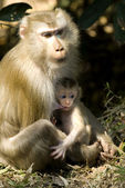 Macaque mother and baby — Stok fotoğraf