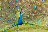 Un pavo real macho — Foto de Stock