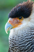Hair caracara falcon — Stock Photo