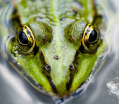 Close-up žába — Stock fotografie