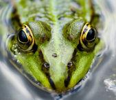 Gros plan grenouille — Photo